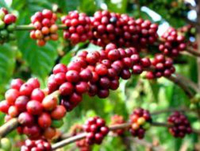 Giá cà phê lên 49 triệu đồng/tấn