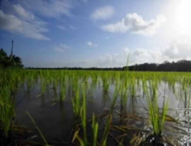 Chính phủ Bangladesh cung cấp phân bón miễn phí cho nông dân