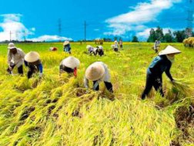 Thu hoạch lúa ở ĐBSCL: Tổn thất hơn 365 triệu USD/năm