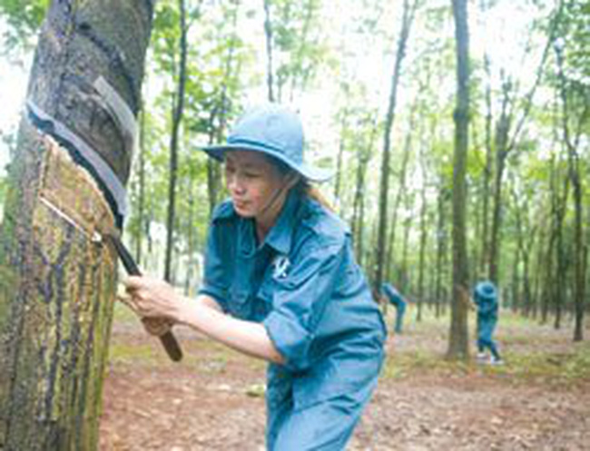 Bảo hiểm cây cao su: Cung cầu chưa gặp