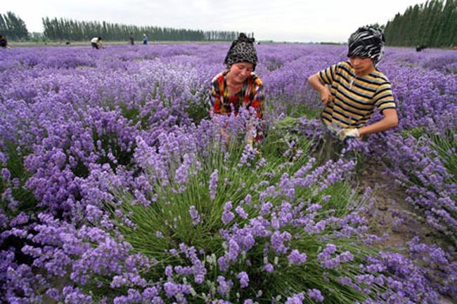 Nông dân Trung Quốc kiếm bộn từ hoa oải hương