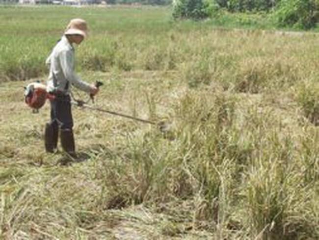 Lúa hạt lép gây hại 2 tỷ, dân được bồi thường 80 triệu đồng