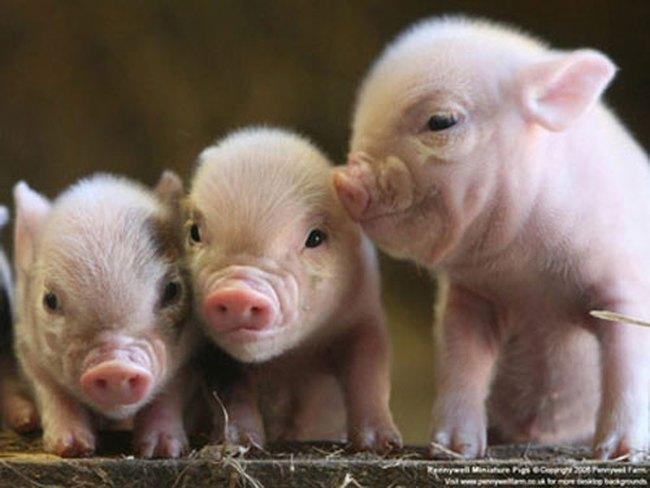 Chuyện con lợn trong trận chiến lạm phát Trung Quốc