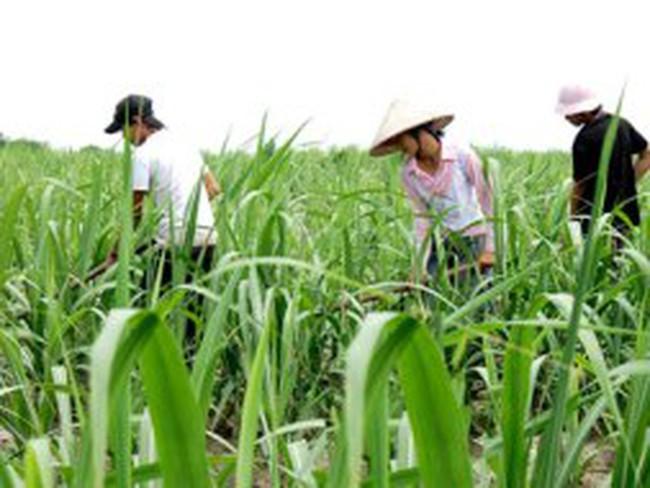Đường Biên Hòa phát triển vùng nguyên liệu ở Campuchia
