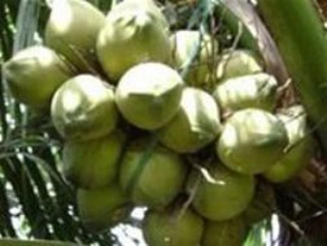 Bến Tre: Giá dừa tươi xuất khẩu cao hơn 30% so với tiêu thụ trong nước