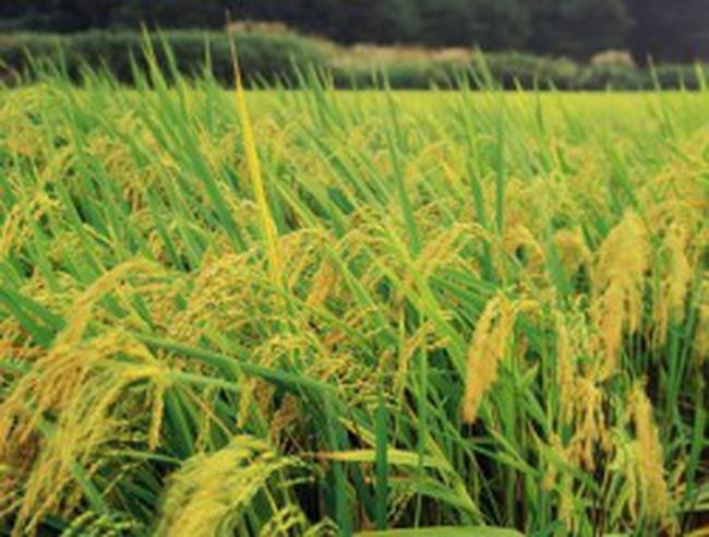 Tứ giác Long Xuyên: Giá lúa gạo tăng nhẹ