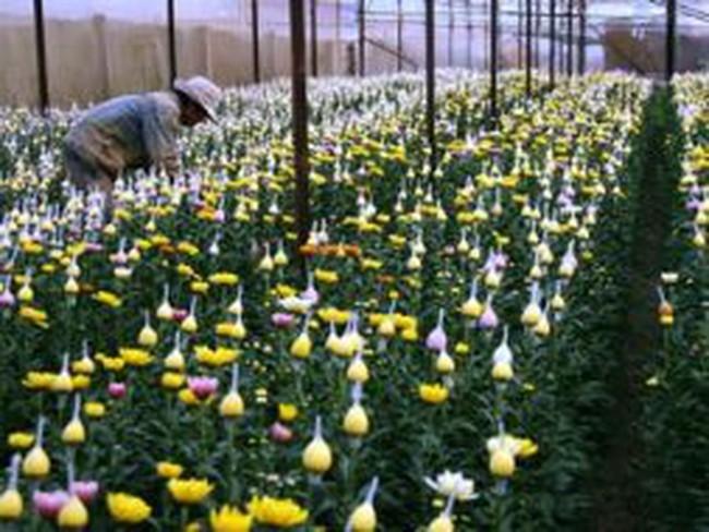 Lập liên minh xuất khẩu hoa Đà Lạt