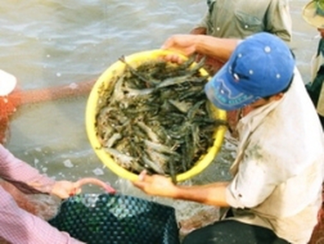 Nông dân Cà Mau trúng mùa tôm, giá tăng cao