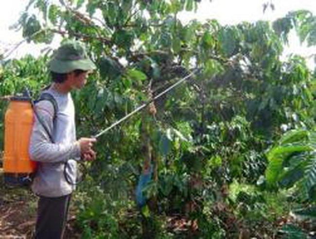 Cà phê Đaknông nguy cơ mất mùa do rụng quả hàng loạt