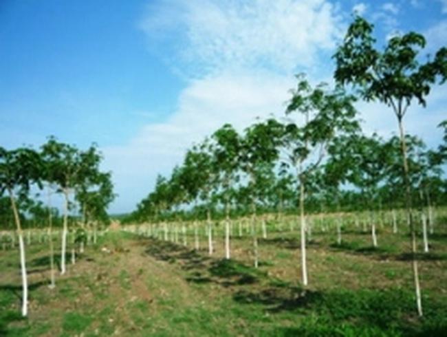 TNC, TRC, DPR: Lợi nhuận ngành cao su tự nhiên tăng mạnh