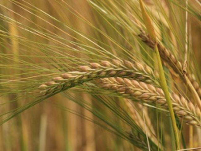 Nga muốn tăng xuất khẩu lúa mì sang Việt Nam và Malaysia