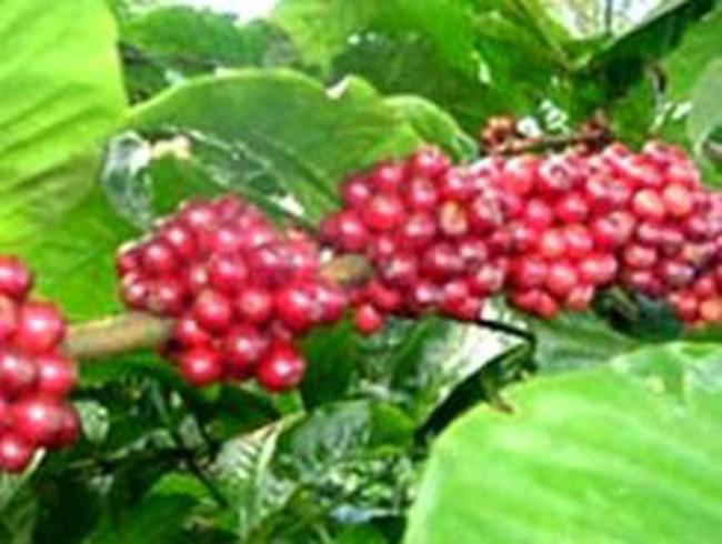 Vì sao Công ty cà phê Đức Lập bị đề nghị khởi tố?