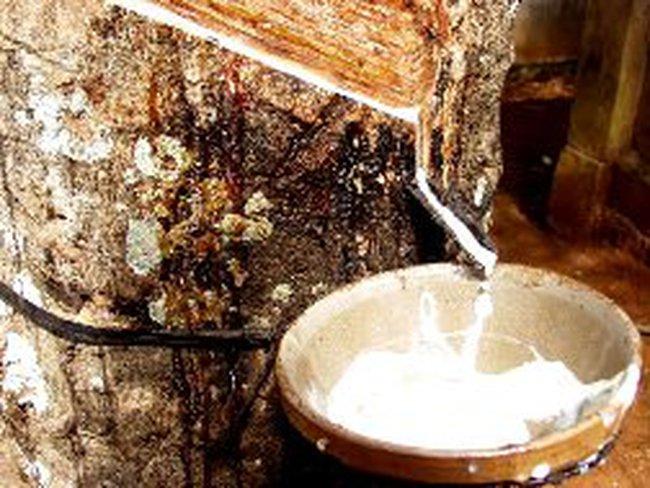 Giá cao su tăng hơn 2% vì mưa lớn ở Thái Lan