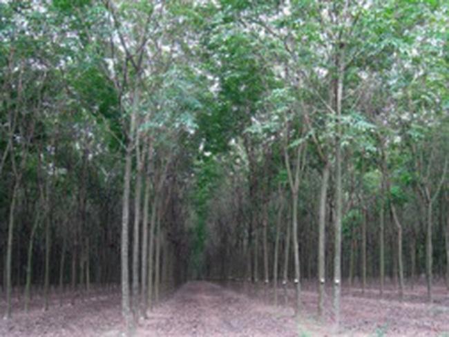VHG: Được thuê hơn 47 ha đất trồng cao su tại Quảng Nam