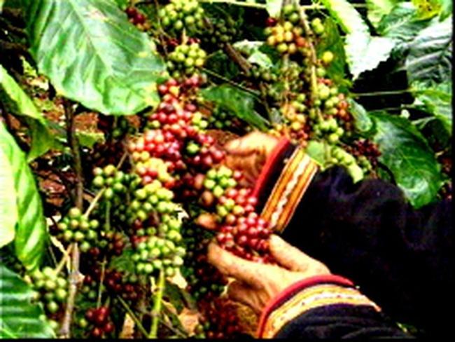 Tăng 61 USD/tấn, giá cà phê lên cao nhất 3 tuần