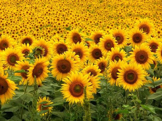 Thưởng ngoạn thành phố hoa hướng dương của Van Gogh