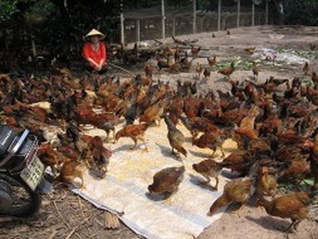 Trồng bưởi, nuôi gà thành triệu phú