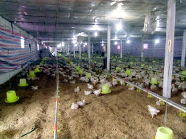 Giá gà công nghiệp sụt mạnh