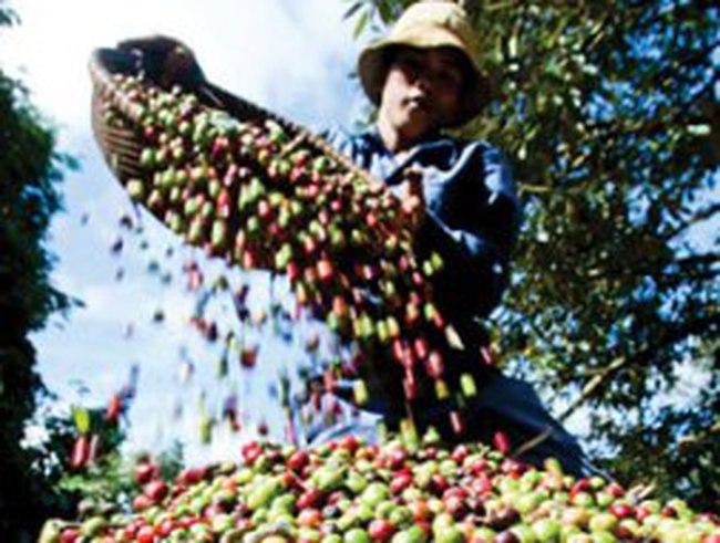 Giá cà phê tăng 1,4 triệu đồng/tấn trong 2 ngày