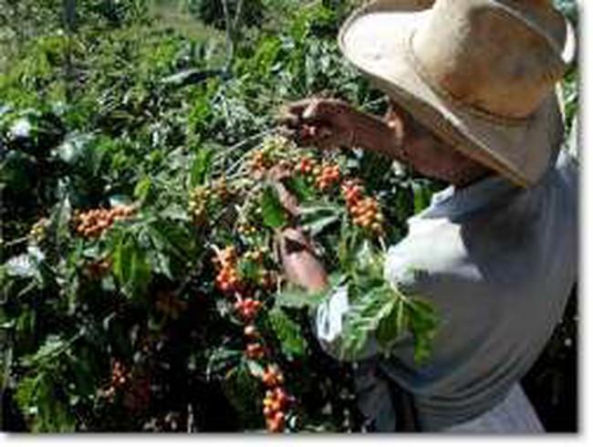 Sản lượng cà phê của Braxin sẽ đạt kỷ lục mới