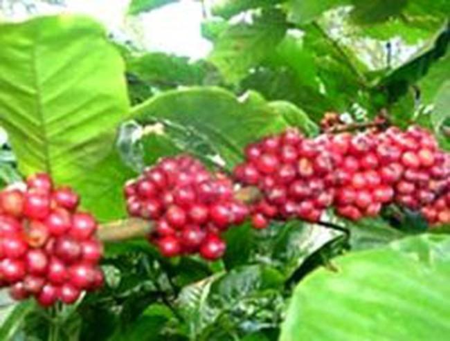 Giá cà phê tăng 2 triệu đồng/tấn trong 3 ngày