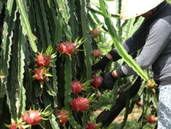 Doanh nghiệp và nông dân lao đao vì thanh long rớt giá cận Tết