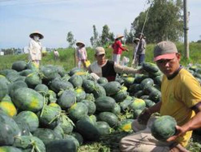 Nông dân thất bại mùa dưa hấu Tết