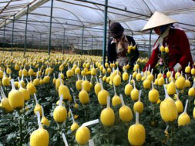Đà Lạt: Hoa Tết bất ngờ giảm giá