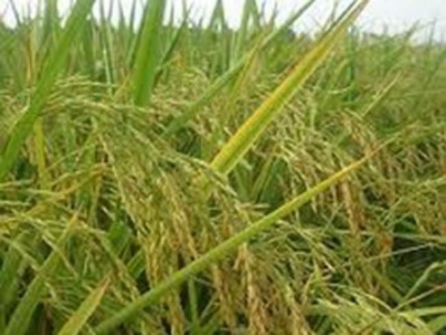 Giá gạo chịu áp lực giảm trong năm 2012