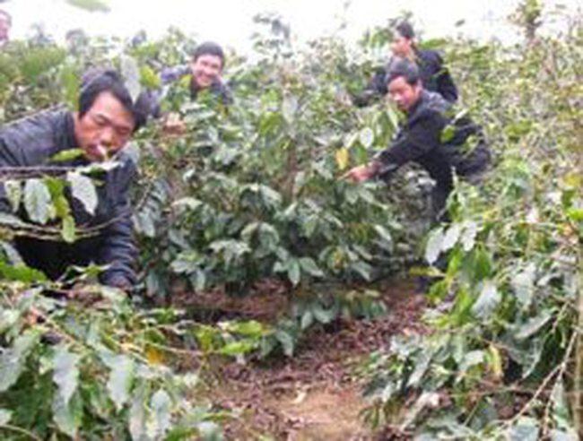 Công ty Vinacaphe Quảng Trị bán hết vườn cà phê của 150 hộ dân