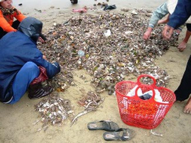 Đại lý ngừng thu mua, ngư dân mang hải sâm đổ xuống biển