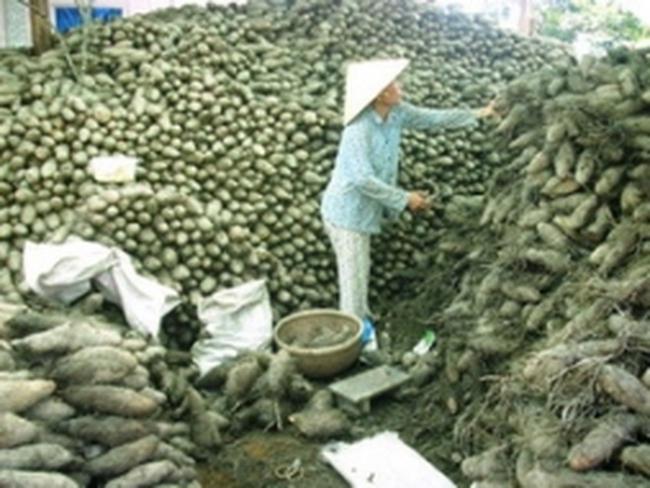 Vùng Đồng Tháp Mười trúng mùa khoai mỡ sau lũ
