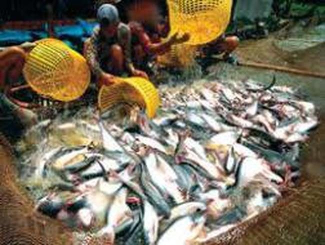 Giá cá tra tiến sát mốc 28.000 đồng/kg