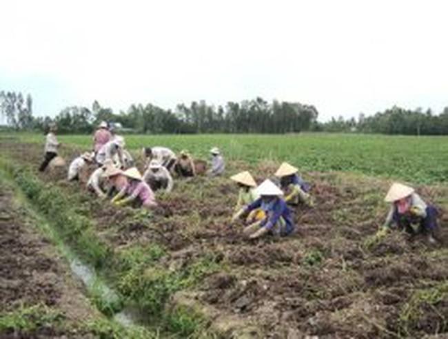 Trồng khoai lang tím: Một khoai = Bảy lúa
