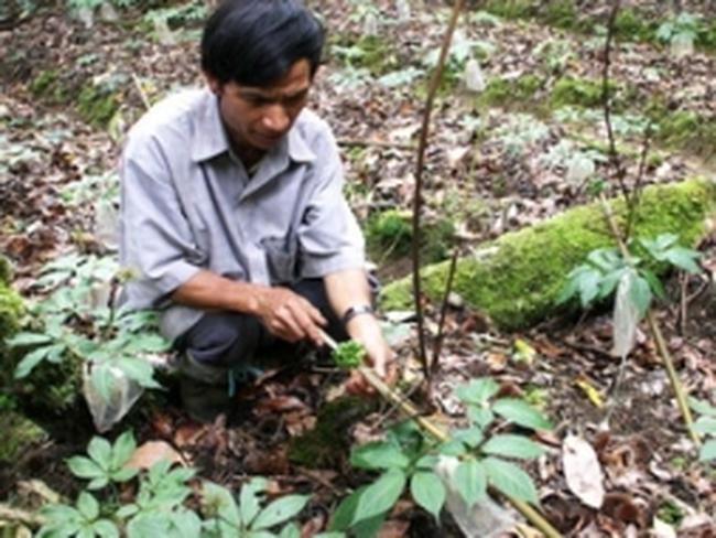 Nông dân kiếm tiền tỷ nhờ trồng sâm Ngọc Linh