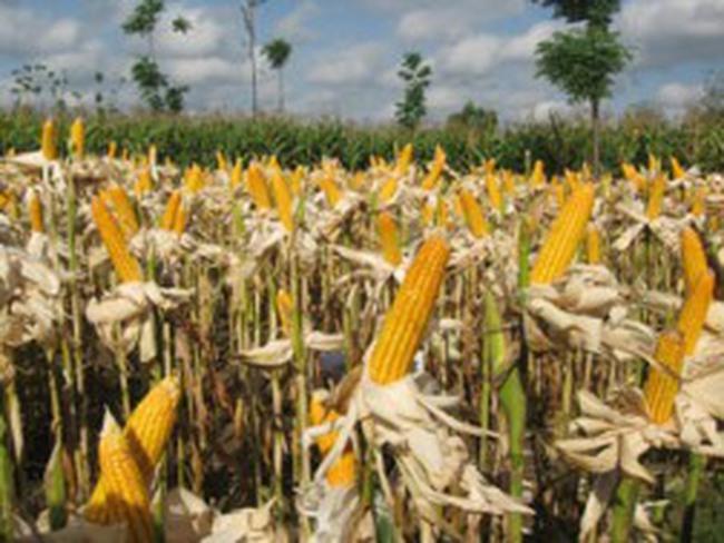 Hạn hán sẽ đẩy tăng giá ngô từ nay đến tháng 10