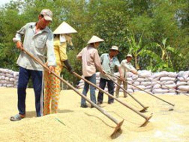 Giá lúa gạo tiếp tục giảm do tiêu thụ chậm