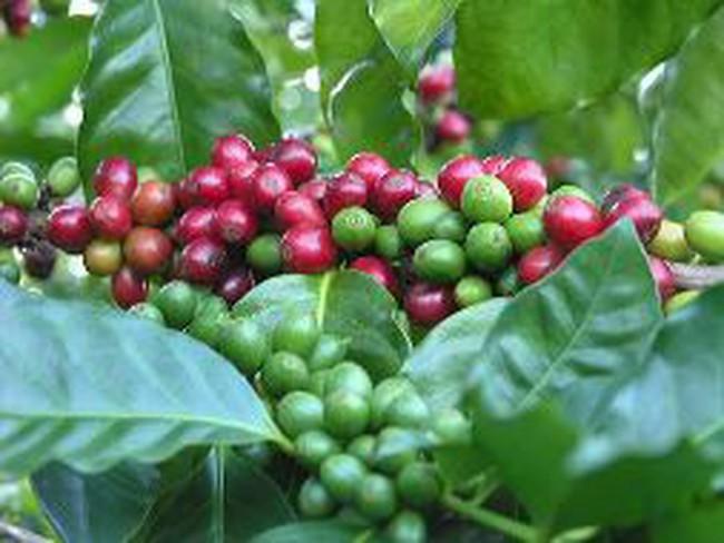 Giá cà phê robusta tăng hơn 10%, cà phê arabica xuống đáy 14 tháng