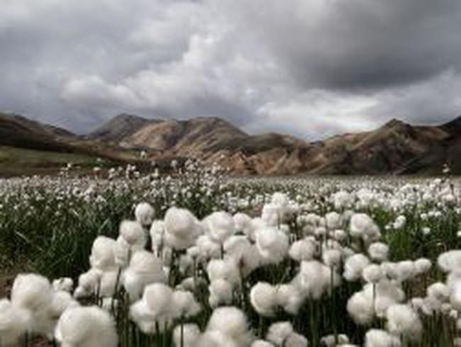 Ấn Độ dỡ bỏ lệnh cấm xuất khẩu bông do bị phản đối mạnh