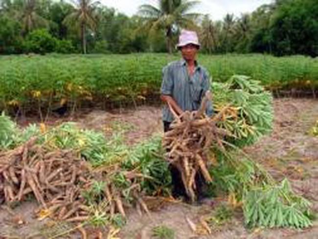 Kon Tum: Người trồng sắn lao đao