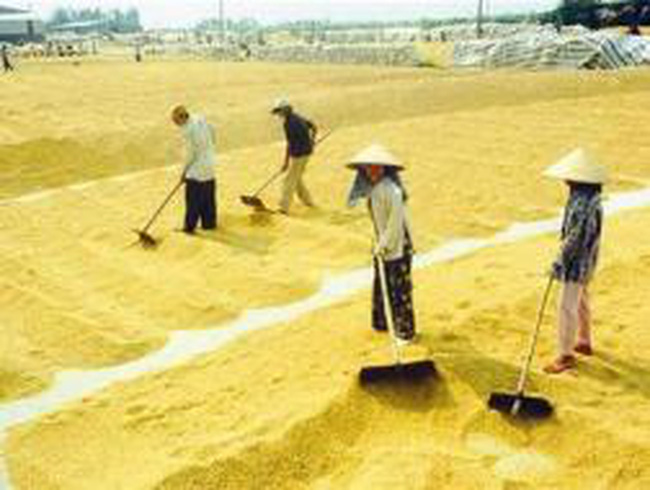 Giá thuê sân phơi lúa tăng 30% so với năm 2011