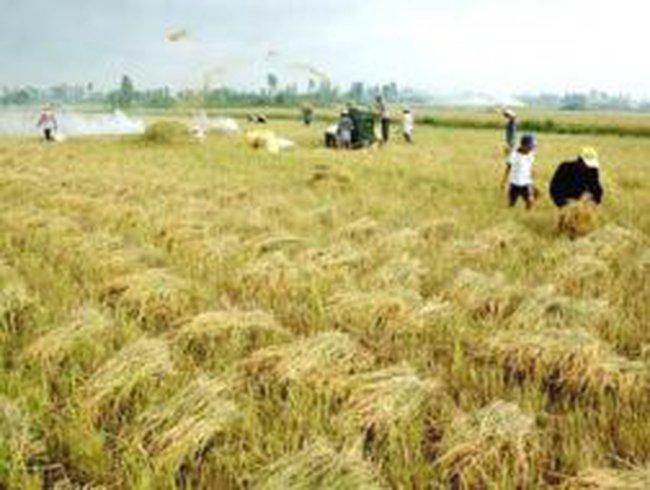 Giá lúa gạo nhích lên nhờ khách hàng Trung Quốc