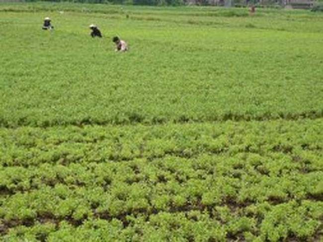 Xây dựng đề án phát triển cỏ ngọt