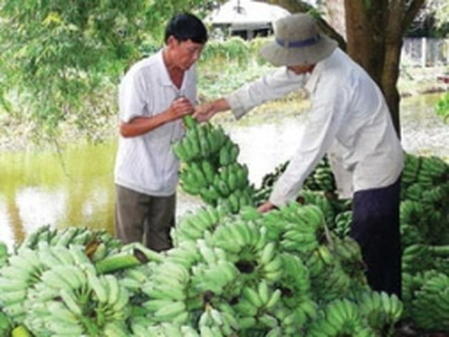Thu gần 100 triệu đồng mỗi ha từ trồng chuối xiêm