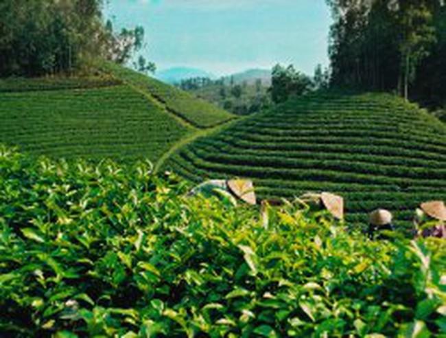 Chè Sri Lanka đắt nhất thế giới