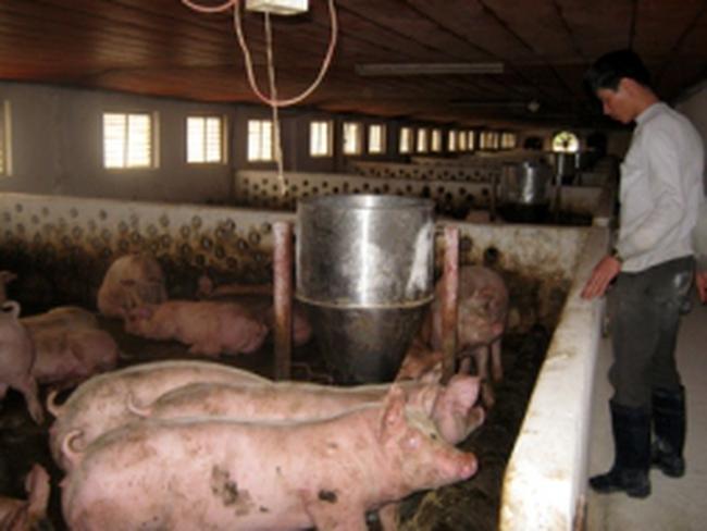 Tỷ phú nuôi lợn ở Hưng Yên