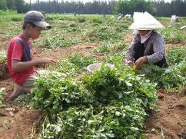 Người trồng đậu phộng méo mặt
