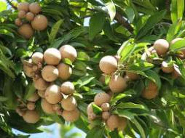 Nông dân Tiền Giang thu lợi cao nhờ trồng sabô