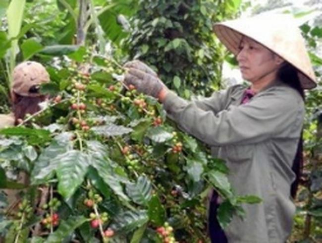 Tây Nguyên có thể đạt sản lượng 1 triệu tấn cà phê