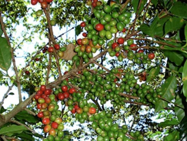 Chưa đồng thuận thu phí xuất khẩu cà phê